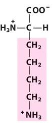 Lysine (Lys/K)