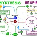 cellular respiration quiz