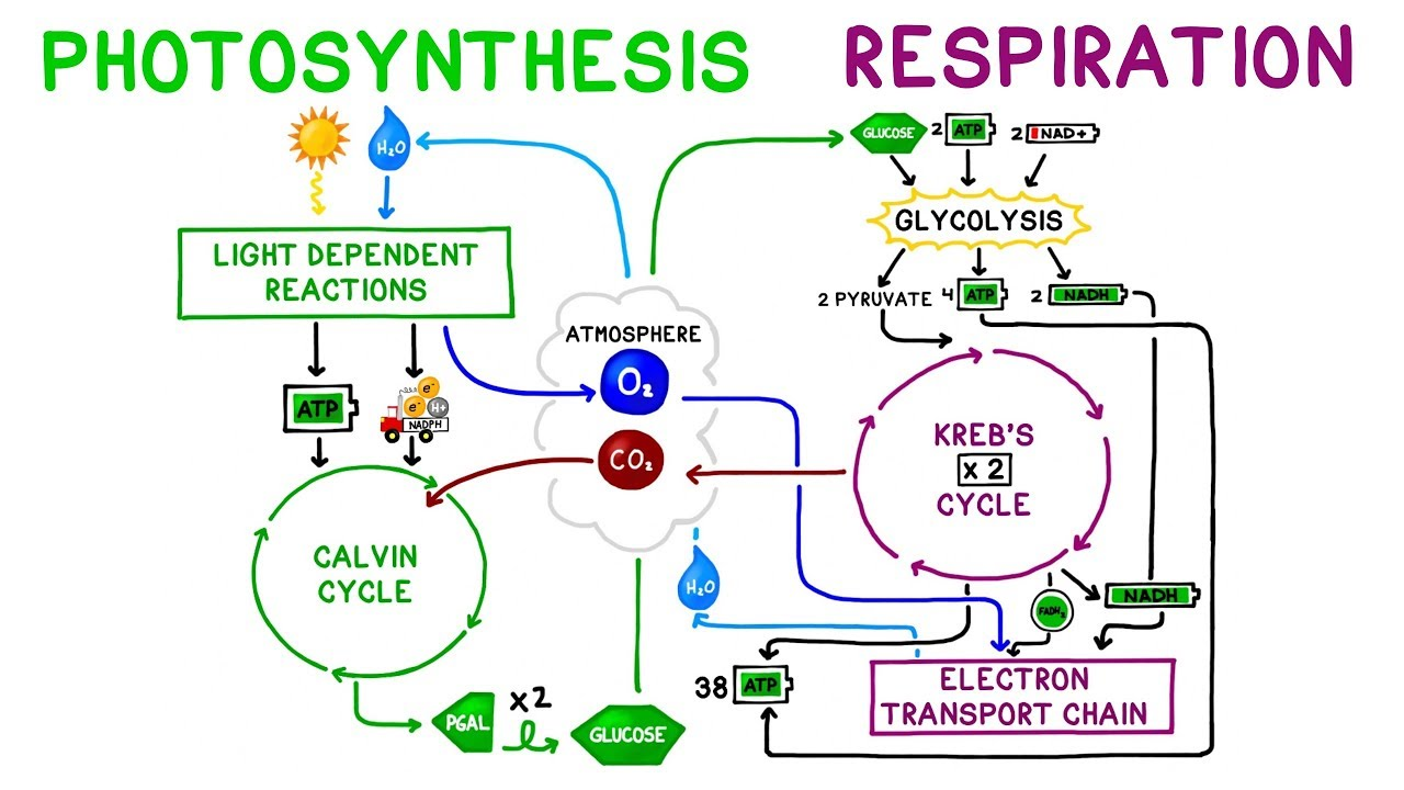 Cellular Respiration Quiz  U00bb Free Quiz At Quizzma