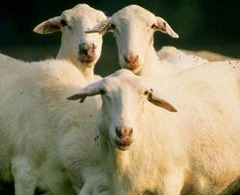 Animals who had taken to bleating