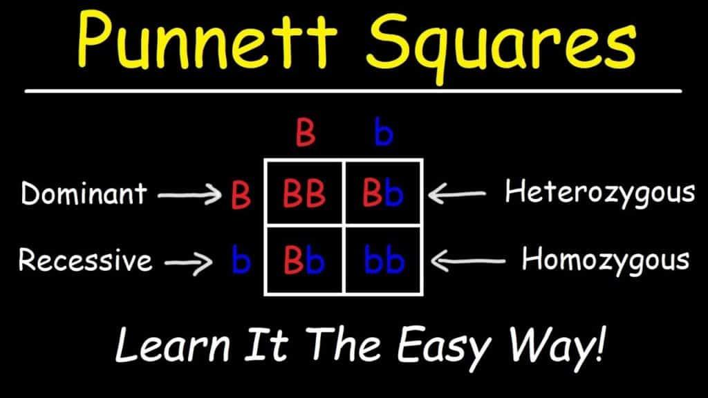 punnet square practice