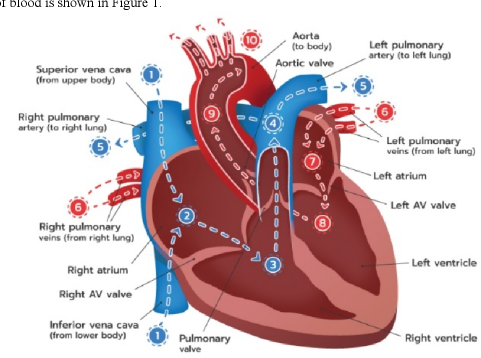heart anatomy quiz