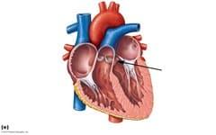 aortic valve