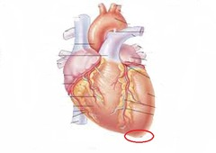 Heart Anatomy Quiz - Easy Way to Learn & Get A+ » Learn ...