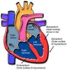 endocardium