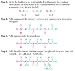 Each of the figures above represents a peptide with three amino acids linked together (a