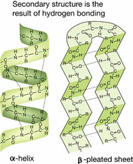 tructure describes the alpha-helices and beta-sheets that are formed by hydrogen bonding between backbone atoms located near each other in the polypeptide chain
