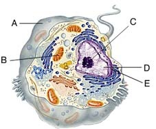 Which of these is the double membrane that encloses the nucleus?