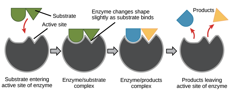 in general, enzymes are what kinds of molecules?