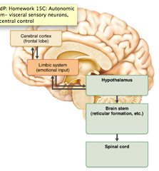 hypothalamus (The hypothalamus controls the activities of the autonomic nervous system directly and links to the brain stem nuclei of the reticular formation.)