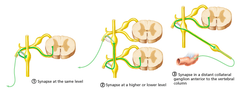 pathway 2 (Preganglionic fibers travel to synapse in the superior cervical ganglion. Postganglionic fibers travel with blood vessels, and innervate structures of the head.)