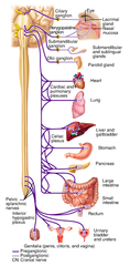 Vagus Nerve (CN X)