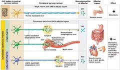 Where are cell bodies of somatic motor neurons located?