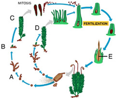 Which of these represents the sporophyte generation of the moss life cycle?